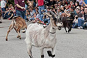 Craft Beer Philadelphia | Grab Your Goat and Get to the Sly Fox Bock Fest & Goat Race, May 1 | Drink Philly