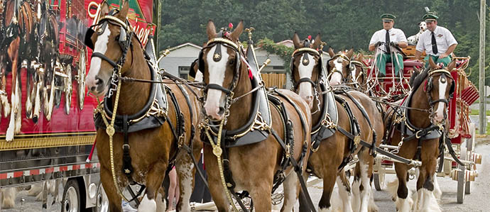 Budweiser Clydesdales Come to Fairmount, August 30